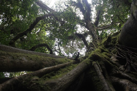 Epic Strangler Fig in Monteverde, Costa Rica 2014