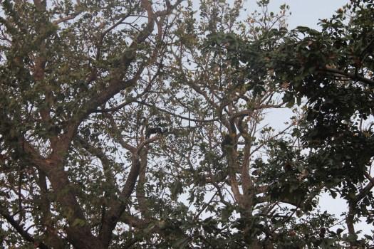 Ometepe Monkeys, Nicaragua 2014