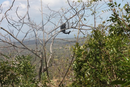 Howler Monkey on Our Zip Line Tour, Ometepe, Nicaragua 2014