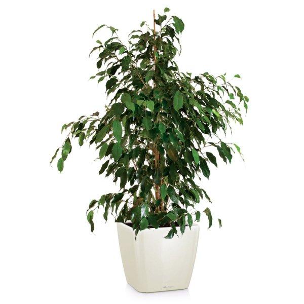 "Фикус ""березка"": условия и правила выращивания растения"