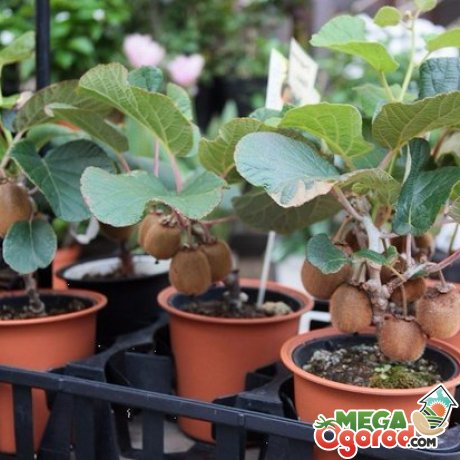 Features of growing kiwi