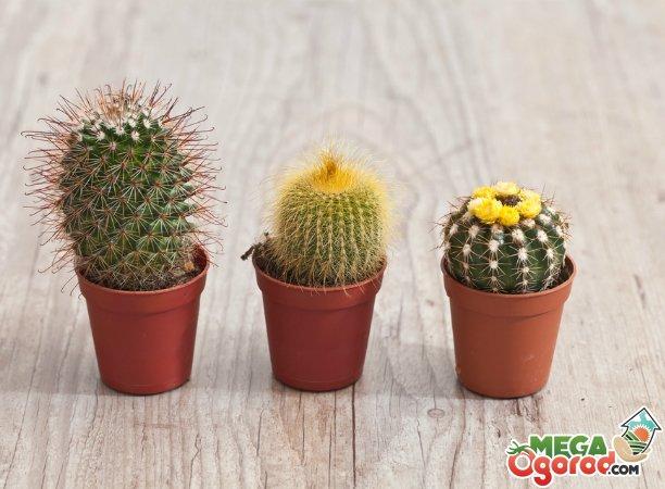 Лучшие виды комнатных кактусов и особенности их выращивания
