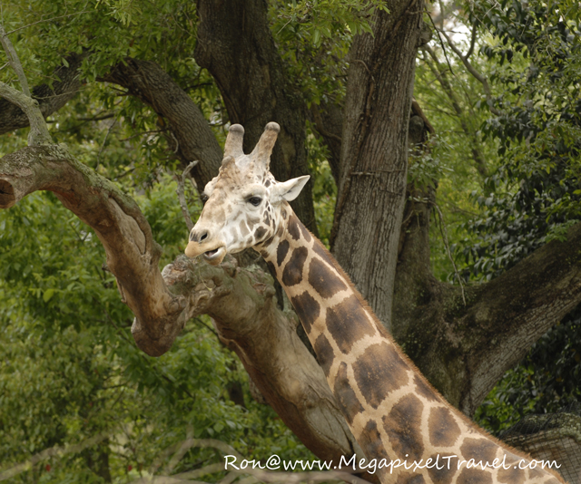 Giraffe, Audubon Zoo, New Orleans