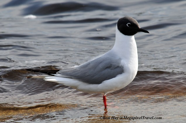 RON_3401-Bonaparte-Gull