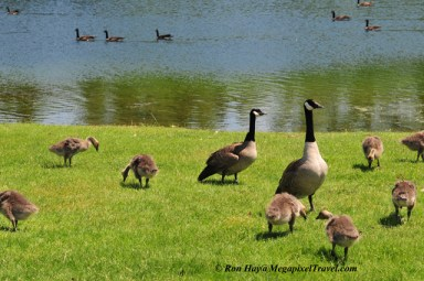 RON_3597-Canada-Geese