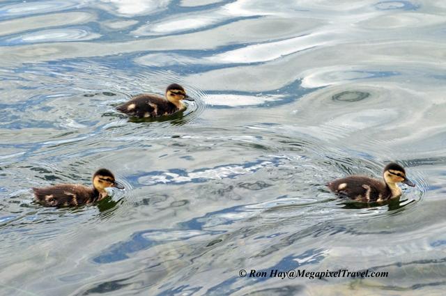 RON_3607-ducklings
