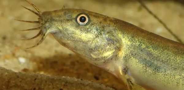 Рыба вьюн. Фото, описание, где водится. • Мега Рыбак