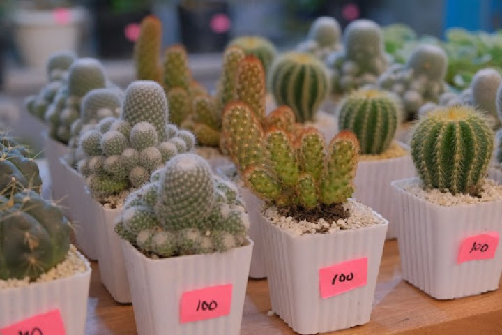 Cactus plants come in every color, shape and size! Get these at the Flower Market (G/F)
