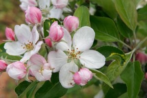 As sweet as the apple blossoms Anne loves so much.