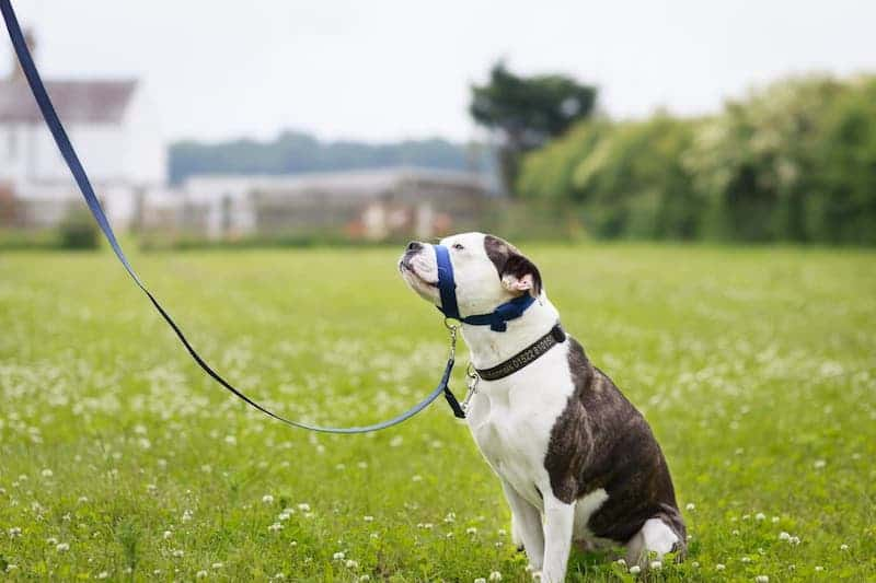 dog head collar safety lead
