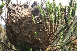 Stay away…billions of stinging ants!