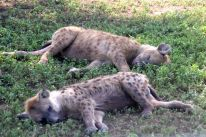 Baby hyenas