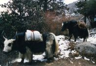Yaks along the way