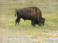 Our first bison...stopped traffic