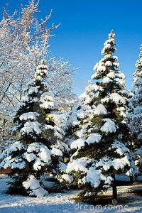 pine-trees-covered-snow-6701994