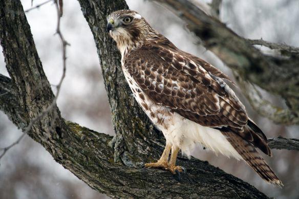 Hawk by Dev Leigh