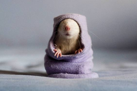 sweater rat