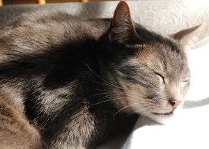 Sleepy Cat Pet Photo