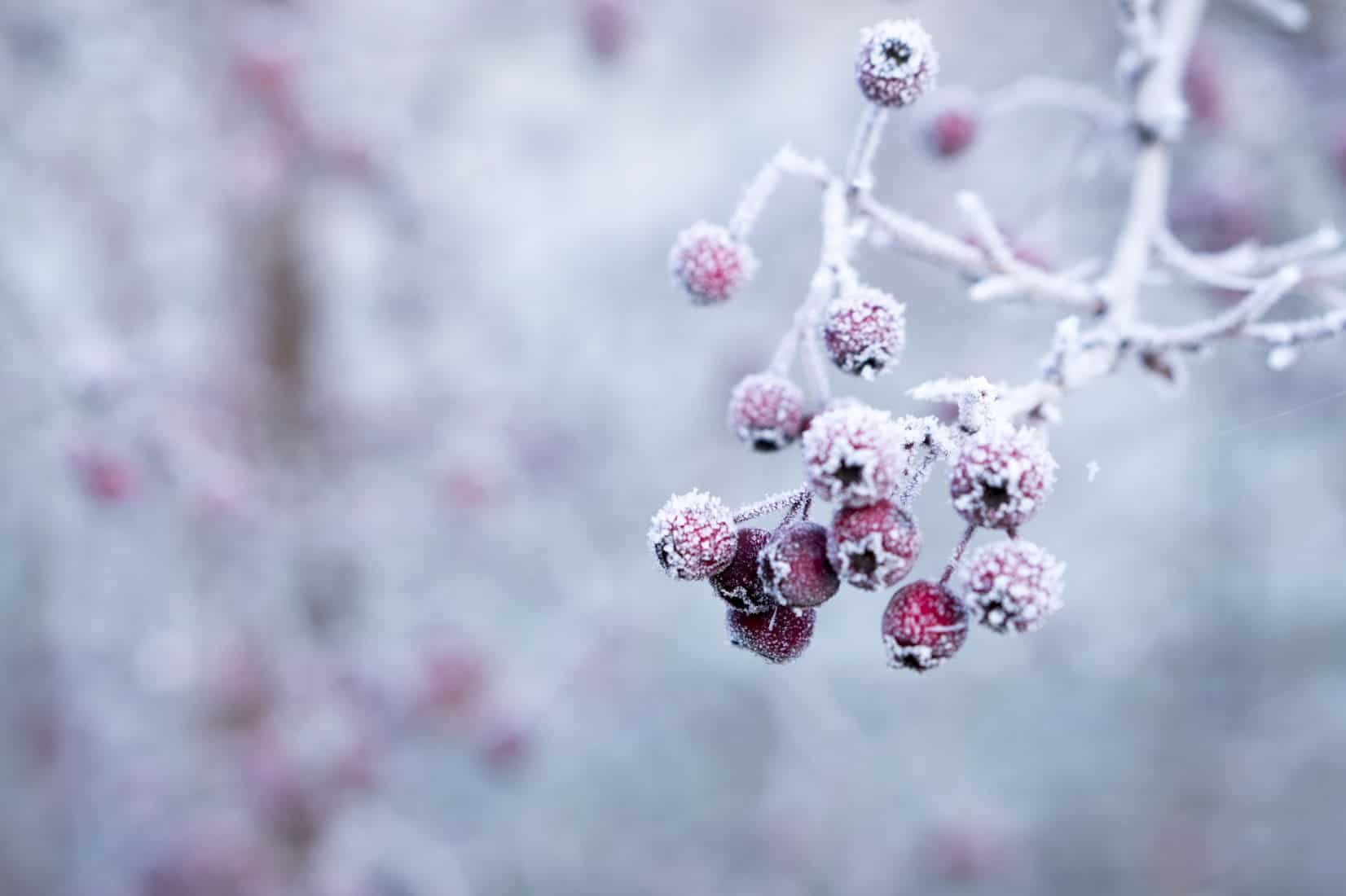 Berries covered in frost