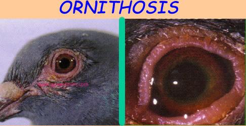 ornithosis_1