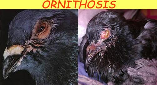 ornithosis_2