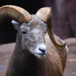 The sheep story in hindi