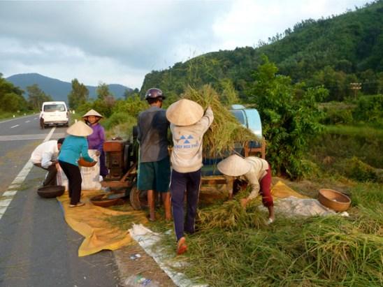 Reisdreschen am Straßenrand