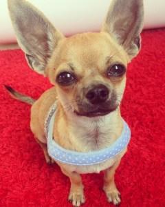 Hund Chihuahua Welpe