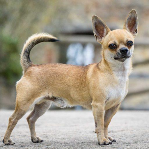 Chihuahua Zuchter Mein Chihuahua