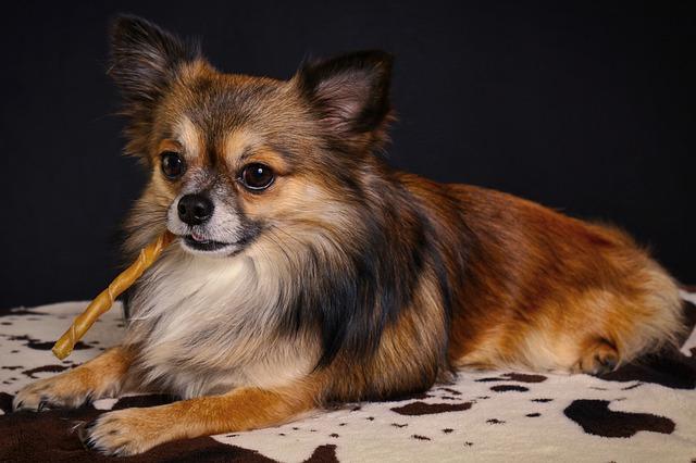 Chihuahua-Pflege