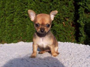 Chihuahua Welpen kaufen