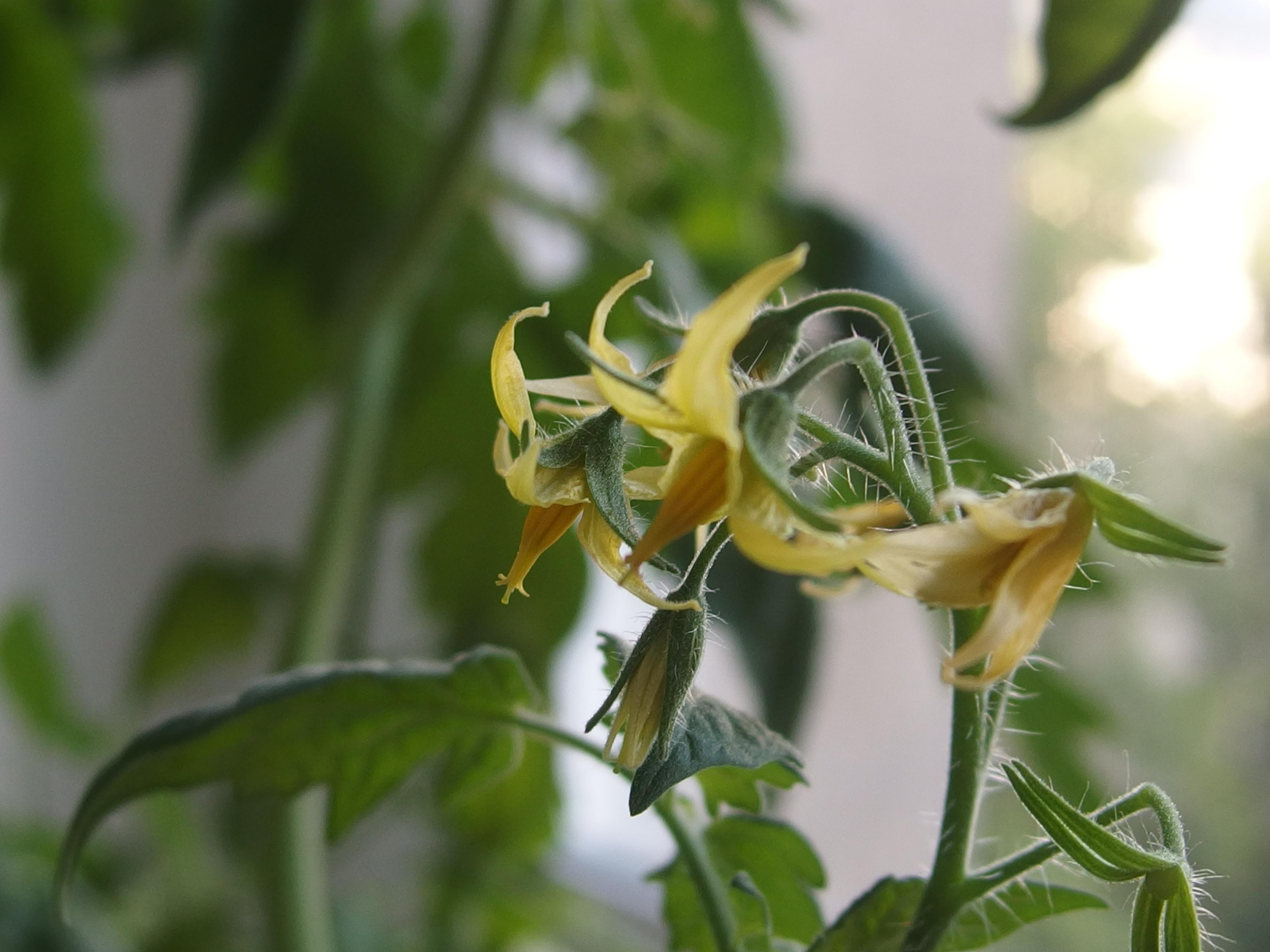 Von Tomaten, Paradeisern und Liebesäpfeln