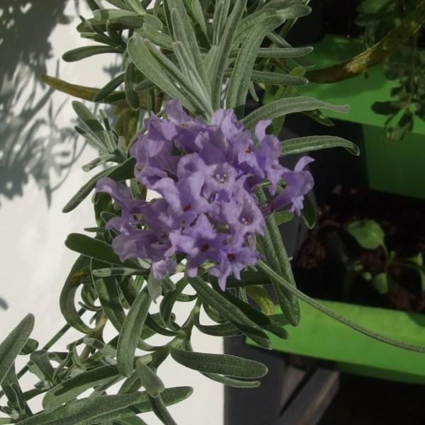Der echte Lavendel