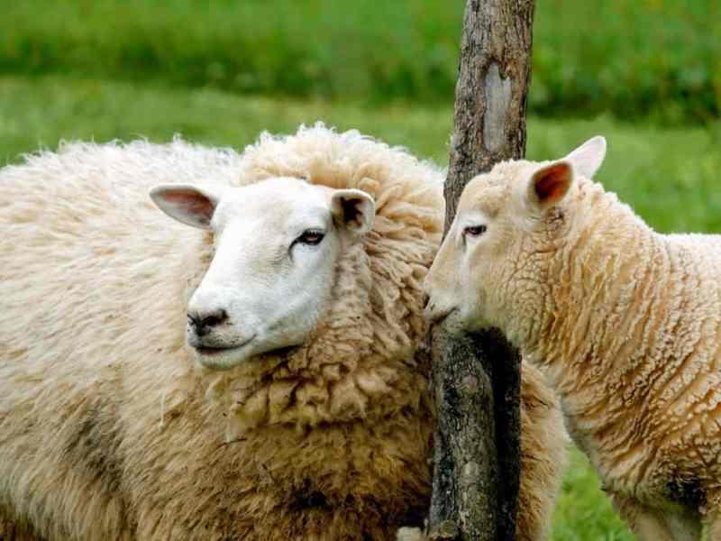 Wolle – Vom Schaf zum Pullover