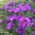Mein Gartentipp: Astern