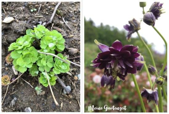 Akeleien - Austrieb & Blüte