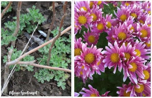 Chrysanthemen - Austrieb & Blüte