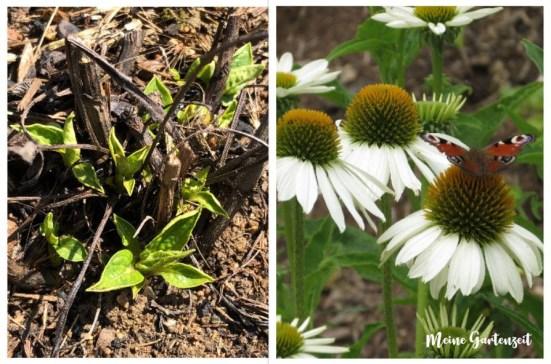 Was wächst denn da? Austrieb erkennen Teil 2 (Echinacea purpurea)