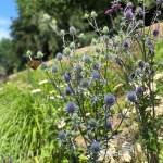 Mein Gartentipp: Mannstreu