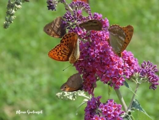 Schmetterlinge auf Schmetterlingsflieder - Ochsenauge und Kaisermantel