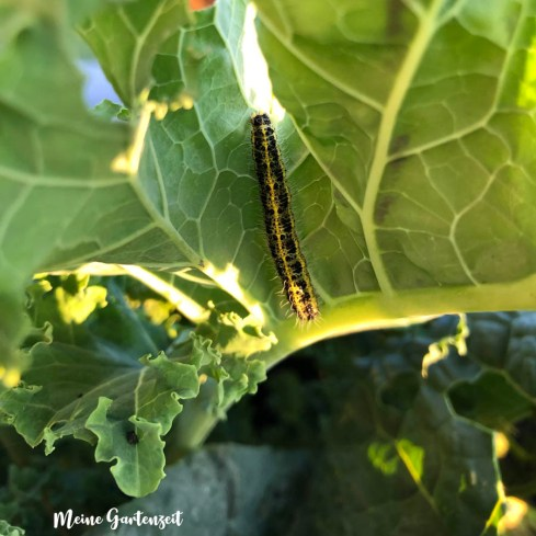Schmetterlingsraupen im Kohl