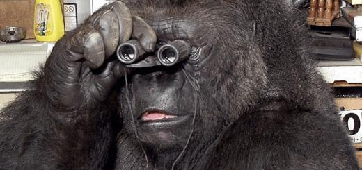 горилла коко