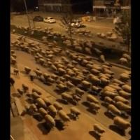 Rebaño de ovejas invaden Samsun ciudad turca