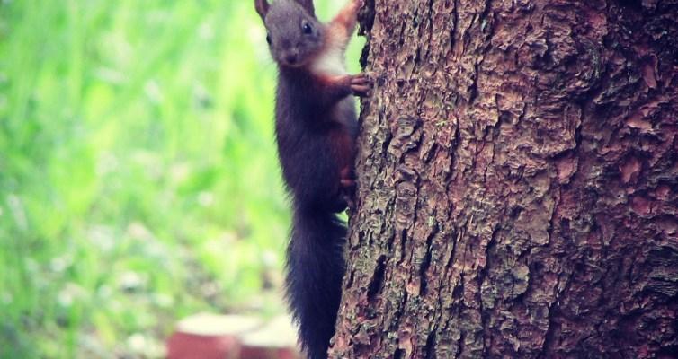 Eichhörnchen als Reittier vom Wichtel