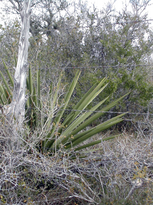 A South Texas fenceline, with yucca and brush