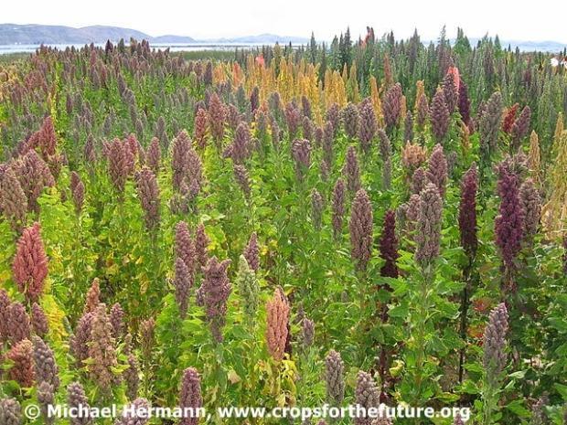 Landschaft mit Quinoa