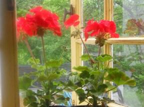 geraniums 001.b