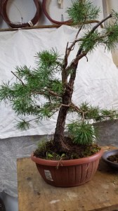 pinus sylvestris before