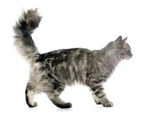 suppress estrus in cats with melatonin