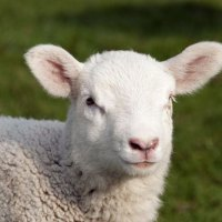 close up view of sheep with out of focus green grass in background